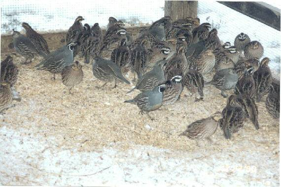 wild Valley quail found in the pen with the bobwhites